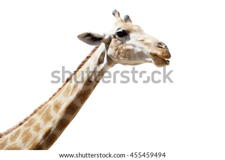 Portrait of a giraffe isolated on white background, Selective focus - stock photo