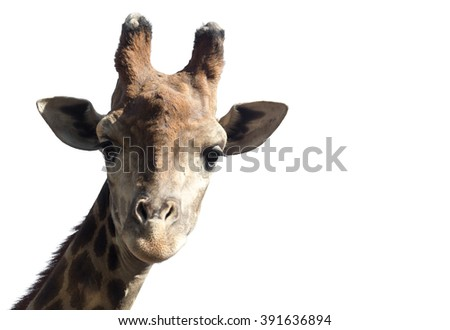 Portrait of a giraffe on a white background - stock photo