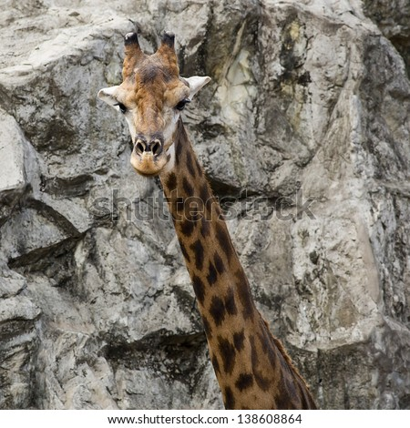 Portrait of a giraffe over stone background - stock photo