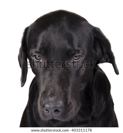 Portrait of a gloomy black Labrador as a gloomy dog concept (isolated on white), selective focus on the dog eyes - stock photo