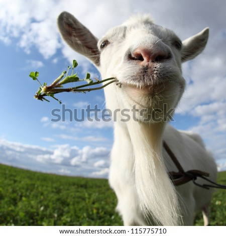 Portrait of a goat eating a grass on a green meadow - stock photo