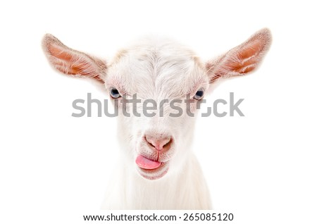 Portrait of a goat showing tongue, close-up, isolated on white background - stock photo