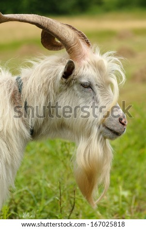 Portrait of a goat with a white beard - stock photo
