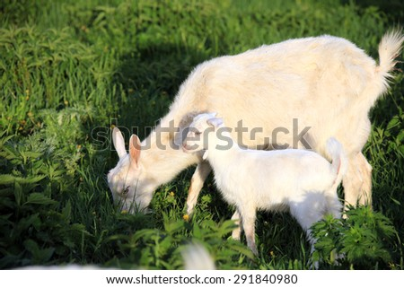 portrait of a goat with kids on a green meadow on a sunny spring day