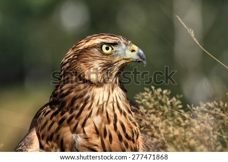 Portrait of a Golden Eagle, detail,  Czech Rep - stock photo