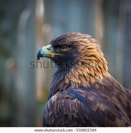 Portrait of a Golden Eagle. These birds of prey are the kings and queens of the sky, flying at great heights and distances with acute eyesight for homing in on prey. - stock photo
