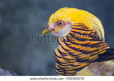 Portrait of a Golden Pheasant - stock photo
