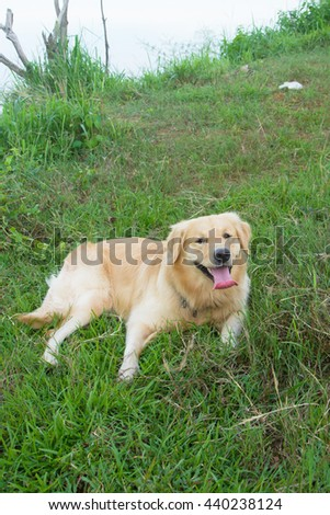 Portrait of a golden retriever in the grass