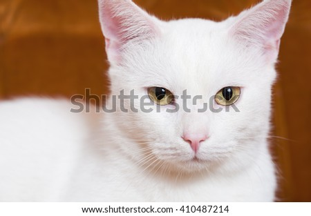 Portrait of a gorgeous adult white house cat.