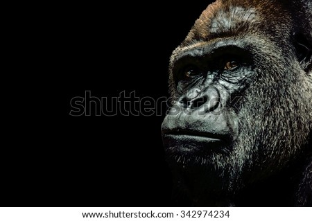Portrait of a Gorilla isolated on black background - stock photo