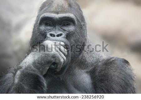 Portrait of a gorilla male, severe silverback close up. - stock photo