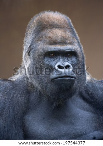 Portrait of a gorilla male, severe silverback, on light brown blur background. Stony stare of the great ape, the most dangerous and biggest monkey of the world. The chief of a gorilla family.