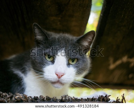 Portrait of a gray and white cat with a very serious look