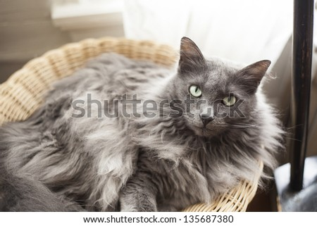 Portrait of a gray cat in a basket staring into the camera.