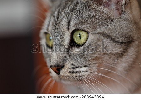 portrait of a gray cat tabby - stock photo