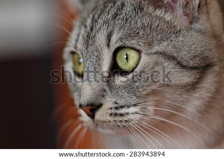 portrait of a gray cat tabby - stock photo