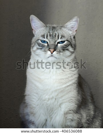 Portrait of a gray cat with blue eyes. - stock photo