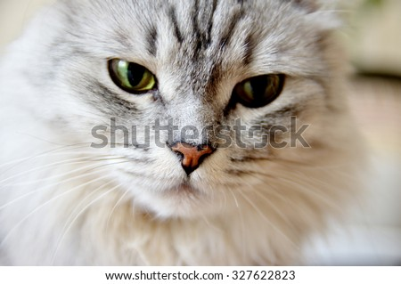 Portrait of a gray fluffy cat