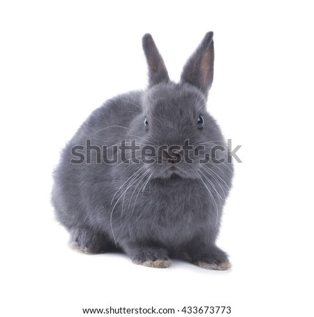 Portrait of a gray fluffy dwarf rabbit. Isolated on white background