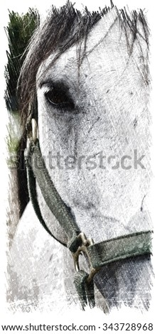 """Portrait of a Gray Horse. Horse's coat is completely """"white"""" but he still has the characteristic black skin and dark eyes marking him a gray horse. / Portrait of a gray horse looking at the camera. - stock photo"""