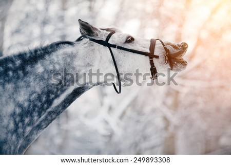 Portrait of a gray sports horse in the winter at sunset. Portrait of a sports stallion. Thoroughbred horse. Beautiful horse. - stock photo