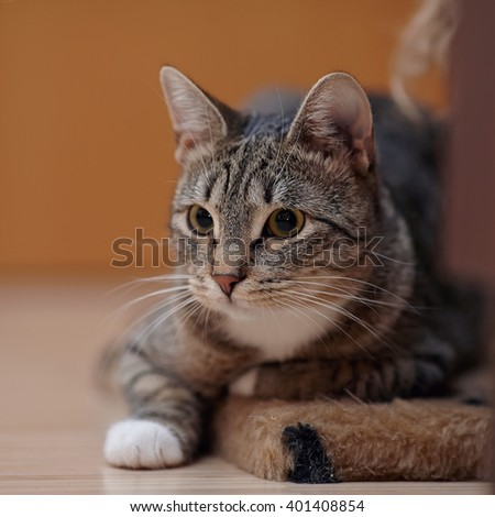 Portrait of a gray striped cat with a white neck. - stock photo