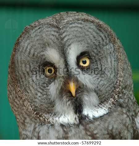 Portrait of a great grey owl or Lapland owl - stock photo