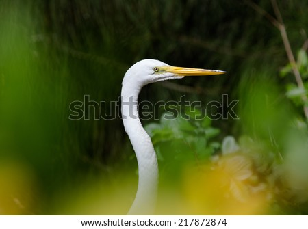 Portrait of a great white heron among the vegetation - stock photo