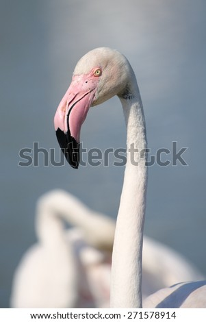 Portrait of a Greater Flamingo in front with another Flamingo in background..