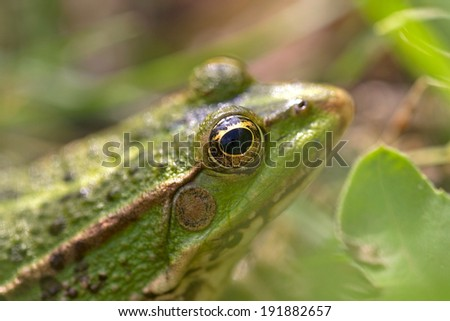Portrait of a Green frog in Rupite, Bulgaria