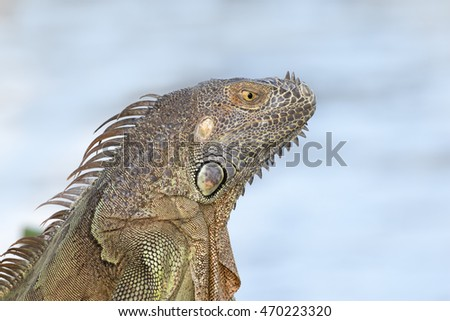 Portrait of a Green Iguana in the morning sun
