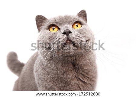 Portrait of a grey british cat isolated on white background - stock photo