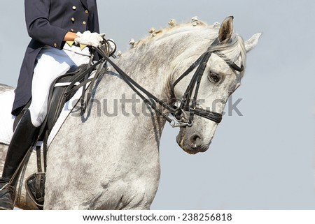 Portrait of a grey dressage horse during the test - stock photo
