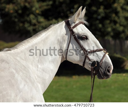 Portrait of a grey dressage horse during training