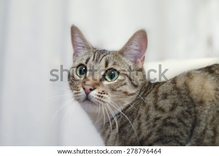 Portrait of a grey European sort hair cat with big green eyes, in white blurry background.