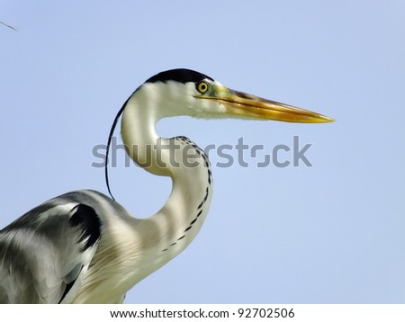 Portrait of a Grey Heron - stock photo