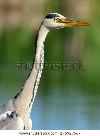 Portrait of a Grey heron (Ardea cinerea)