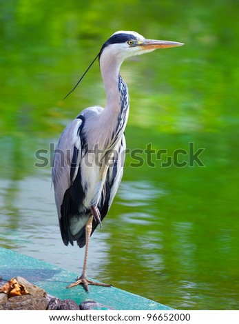 Portrait of a Grey Heron on the side of a lake in summer. - stock photo