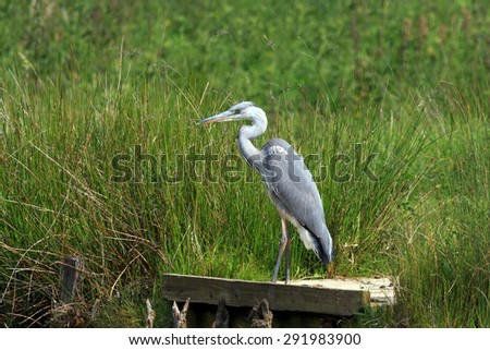 Portrait of a Grey Heron stood on a fishing station in the UK - stock photo