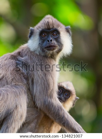 Portrait of a grey Macaque monkey with her baby