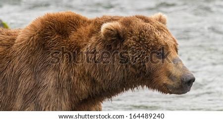 Portrait of a Grizzly Bear at Katmai National Park, Alaska - stock photo