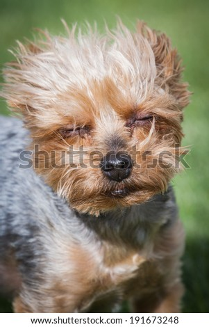 portrait of a groom yorki walking outdoors in springtime with eye allergies - stock photo
