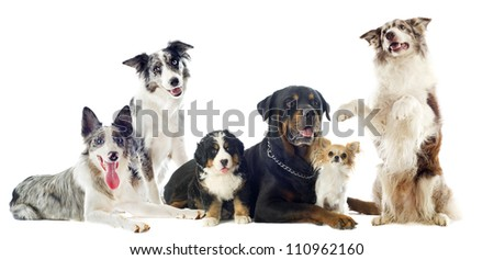 portrait of a group of dogs in front of white background