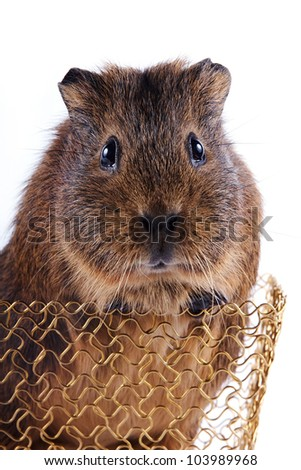 Portrait of a guinea pig in a gold wattled basket on a white background