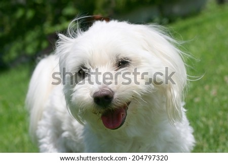 Portrait of a happy maltese dog with cut hair for summer in a garden - stock photo