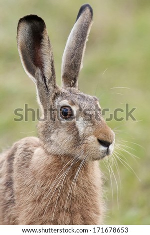 Portrait of a hare in the wild.