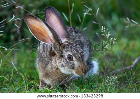 Portrait of a Hare with long ears and beautiful eyes, Serengeti - stock photo