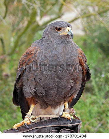 Portrait of a Harris Hawk in Arizona