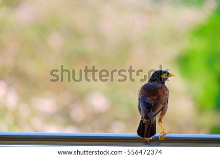 Portrait of a hill mynah (Gracula religiosa)