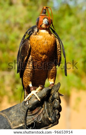 Portrait of a hooded falcon sits still on its trainer hand as it poses for pictures. This picture was snapped during a falconry show held not far from Dubai, United Arab Emirates. - stock photo